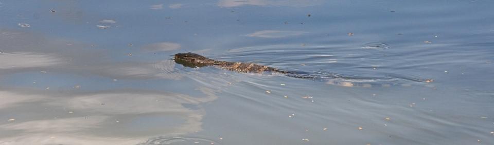 lizard in the water